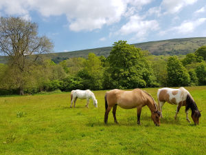 Horses in a field in Llanthony, Brecon Beacon
